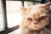 """WHADDAYA WANT?"" 😾 (stratman² (2 many pix!)) Tags: canonphotography eos450d ef28mmf18usm persiancats catportraits bokeh shallowdof flickrelite catmoments cc100 creativecommons"