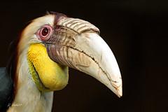 Wreathed hornbill (m) (K.Verhulst) Tags: wreathedhornbill hornbill gewonejaarvogel jaarvogel vogels birds blijdorp diergaardeblijdorp rotterdam bird ngc coth5 npc