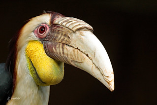 Wreathed hornbill (m)
