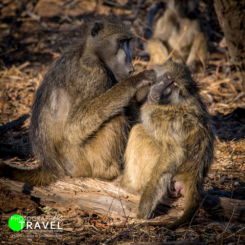 Baboons On Chobe River