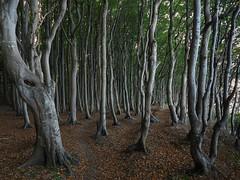 Im Märchenwald (nordelch61) Tags: mecklenburg vorpommern rügen halbinsel wittow wald küstenwald märchenwald gestalten baumgestalten verwunschen märchenhaft holz park baum forest tree trees