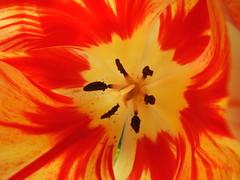 sensorily swallowed (Michiko.Fujii) Tags: microcosm natureatitsbest upclose parklife outinthegreen singapore tulips gardensbythebay tulipdome southeastasia