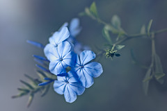 Just feeling blue (Hanna Tor) Tags: flower blue garden flora color hannator beauty mood romantic