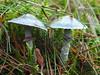 Echte Kopergroenzwam, Stropharia aeruginosa/Psilocybe aeruginosa (Michiel Thomas) Tags: paddenstoel fungus aeruginosa stropharia kopergroenzwam psilocybe psilocybeaeruginosa echte