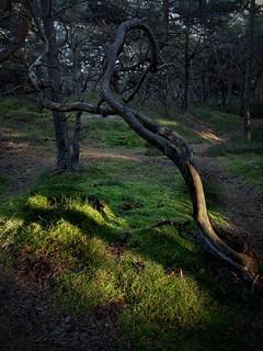 Streiflicht im Wald auf der Schaabe