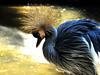 Black crowned crane (markb120) Tags: bird fowl flyer flier plumage feathering feather coverts coat dress beak bill pecker rostrum neb nib crane shadoof blue