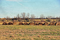 South of Brandon (Across & Down) Tags: october manitoba bales farm field autumn