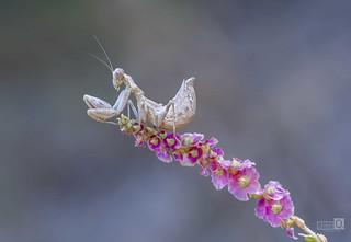 Ameles con florecillasjpg