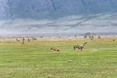 A brave mother turns the tables (Hoppy1951) Tags: ngorogoroconservationarea tanzania tza ngorongorocrater bluewildebeest spottedhyena crocutacrocuta westernwhitebeardedwildebeest connochaetestaurinusmearnsi connochaetestaurinus allanhopkins hoppy1951 chase