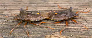 Mating Shieldbugs
