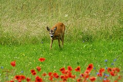 Friend on the field :-) (Jurek.P) Tags: roedeer sarenka field mazury masuria poland polska summer nature natura wildnature jurekp sonya77