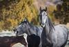 Wild HOrses (Jami Bollschweiler Photography) Tags: wild horse onaqui herd utah wildlife photography west desert stallions mare trees great basin