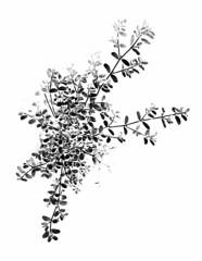 58591.03 Euphorbia maculata (horticultural art) Tags: horticulturalart euphorbiamaculata euphorbia plant prostrate weed botanical