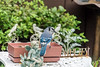 blue jay in our yard (Dotsy McCurly) Tags: blue jay bird beautiful animal nature yard plants pot birdfood angel fairy nj newjersey nikond750 tamron18400mmf3563 7dwf fauna