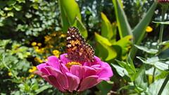 milking summer (Mamluke) Tags: butterfly insect flower fleur summer garden jardin mamluke pink rose zinnia paintedlady