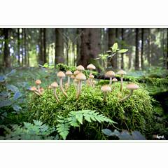 Die Versammlung (horstmall) Tags: mushrooms toadstools champignons pilze schwammerl wald forest forêt schwäbischealb jurasauabe swabianalps grabenstetten herbst autumn fall automne horstmall