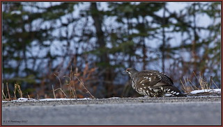 SpruceGrouse_6D_6031