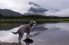 One In A Vermilion (Following Keaton) Tags: vermilionlakes dog lake landscape nature schnauzer wilderness
