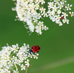 The meaning of life (Robyn Hooz) Tags: ladybug coccinelle fiori flowers green verde padova meaning life cute dettagli