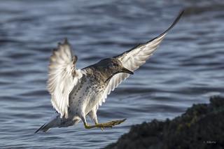 Surfbird / Bécasseau du ressac