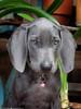 Rubi Bruised Nose (Flickr Explore 9/10/2017) (Don Henderson) Tags: rubi blueweimaraner puppy fujifilmx30 myfujifilm