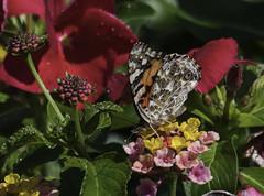 CommonBuckeye_SAF2573-1 (sara97) Tags: junoniacoenia buckeye butterfly commonbuckeye copyright©2017saraannefinke endangered insect missouri outdoors photobysaraannefinke pollinator saintlouis towergrovepark