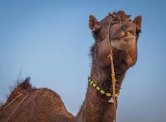 Rajasthan - Jaisalmer - Desert Safari with Camels-62