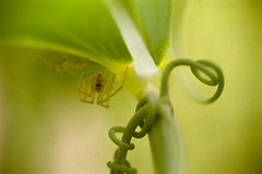 Spider on a Pea Plant (praecordiaCore) Tags: peaplant arachnid spider macro extensiontube enlargerlens fujicolorindustrial100 film nikonf2