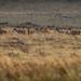 The Deer Reconnaissance (neil 36) Tags: deer reconnaissance october november harems lek bucks does antlers click their cheek teeth scrape ground shove twist opponents offbalance hinds stags oestrus territorial england