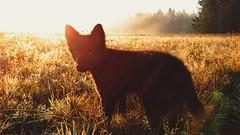 Good morning 🐶 (Jos Mecklenfeld) Tags: totoro dutchshepherddog dutchshepherd shepherd shepherddog hollandseherder hollandseherdershond herder herdershond puppy hiking wandern wandelen terapel westerwolde groningen netherlands niederlande nederland sonyxperiaz5 xperia