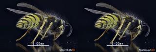 Common Wasp, CrossView(CrossEye) 3D, video screengrab.