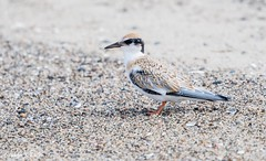 Young tern on the beach (Photosuze) Tags: terns juveniles youngsters leastterns birds aves avians animals nature wildlife beach sand