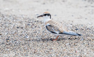 Young tern on the beach