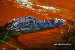 Orange Water Gator (tclaud2002) Tags: gator alligator reptile water orange sunset wildlife animal nature mothernature pineglades naturalarea pinegladesnaturalarea jupiter florida