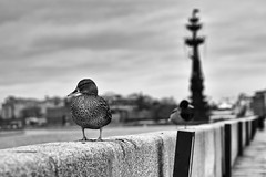 A duck (Tatiana Malevich (neverbluda)) Tags: duck bird river moscow russia bnw bw blackandwhite monochrome street city cityscape nature urban