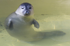 Adorable Seal (Rob Kints (Robk1964)) Tags: decocksdorp dunes sanddunes slufter strand texel thenetherlands vuurtoren