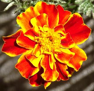 PERPIGNAN GARDEN OEILLET D INDE FLOWER