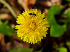 Tiny World (Alemap.1) Tags: bee insect nature dandelion