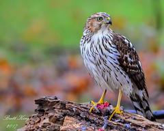 Cooper's with prey (dbking2162) Tags: birds bird birdofprey coopershawk hawk nature nationalgeographic wildlife green animal indiana