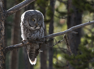 Always a treat - backlit Great Gray Owl - 0749b+