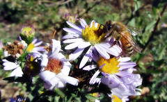 A is for aster, b is for bee (TJ Gehling) Tags: insect hymenoptera bee apidae honeybee apis plant flower asterales asteraceae aster pacificaster symphyotrichum symphyotrichumchilense asterchilense canyontrailpark elcerrito