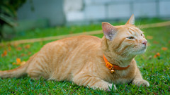 Joey the garden kitteh 😺 (stratman² (2 many pix!)) Tags: canonphotography eos450d efs60mmf28macrousm littlejoey catmoments kitteh orangecat neko gato chat kucing comel oreengenesses iso400 cc100
