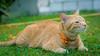 Joey the garden kitteh 😺 (stratman² (2 many pix!)) Tags: canonphotography eos450d efs60mmf28macrousm littlejoey catmoments kitteh orangecat neko gato chat kucing comel oreengenesses iso400 cc100