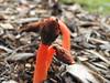 Phallus rubicundus (Jackson Nugent) Tags: stinkhorn fungus fungi mushroom australia basidiomycota phallus rubicundus red dikarya