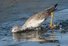 Rubino Greater Yellowlegs fishing 20171018 San Diego River Channel CA 115-2 (Ryan Rubino) Tags: greater yellowlegs tringa melanoleuca fishing skimming running lunging water low tide san diego ca