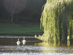 Swans and weeping willow (Artybee) Tags: north yorkshire fountains abbey national trust ruins gardens swans weeping willow