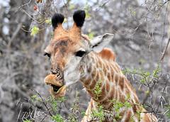 Carefully does it! (pstone646) Tags: giraffe wildlife nature animal fauna thorntree africa mammal southafrica eating feeding