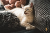 Nemo, the cat (Hugo StickIT Bryan) Tags: cat young cats nemo baby fun couch france cute adorable lovely white light home sweet chat zeiss sony a7 55mm animal pet