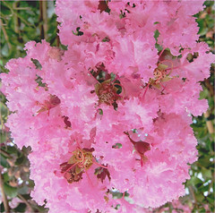 Fancy, Frilly and Fragile (View zoomed) (Mary Faith.) Tags: myrtle macro frill fragile fancy pink