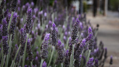 Footpath Lavender (Theen ...) Tags: adelaide blue dillydilly footpath garden green lavender lumix suburban theen underdale